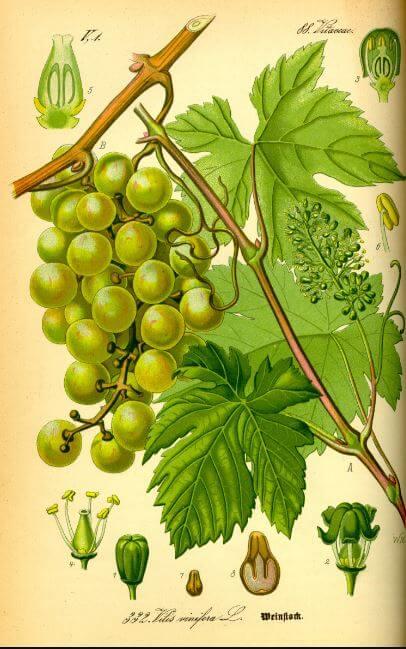 Aceite de semilla de uva salud