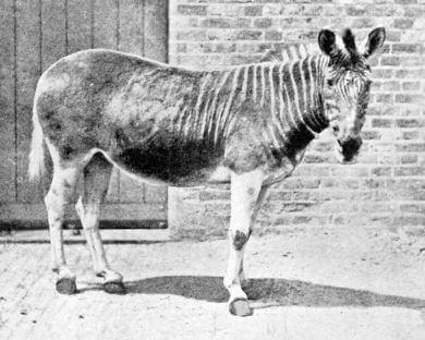 Animales extintos Quagga