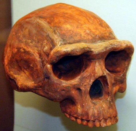 Homo Erectus Evolucion del hombre