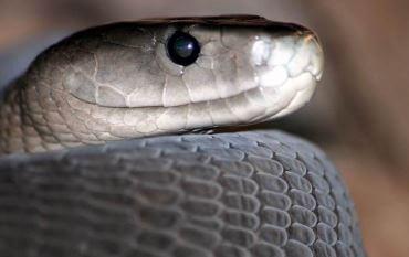 Mamba negra serpiente venenosa