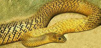 Serpiente Taipan